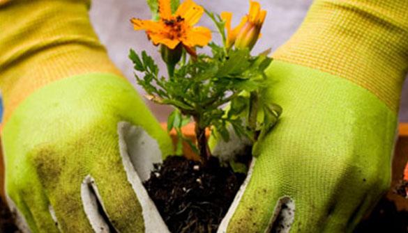 Plant Care, Marigold
