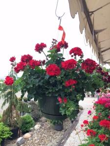 Ivy Geranium Hanging Basket