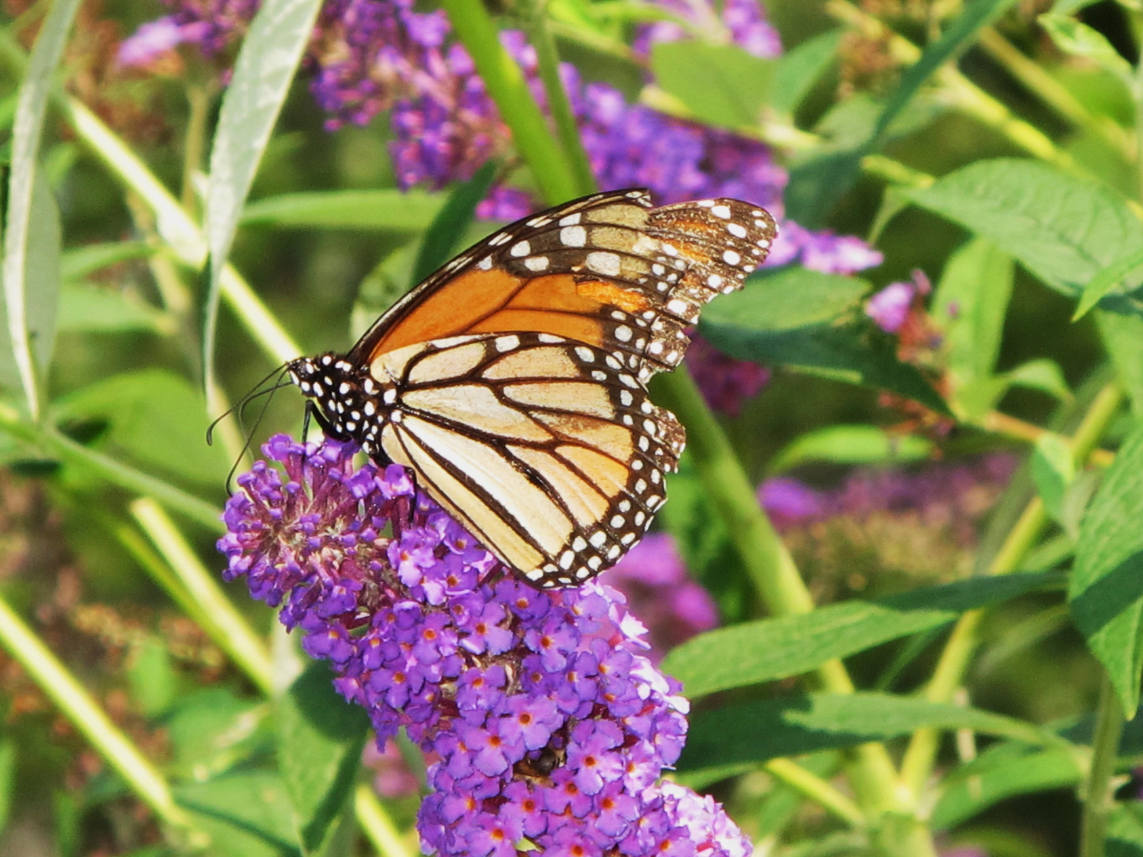 Attract Butterflies to your Garden - Graf Growers