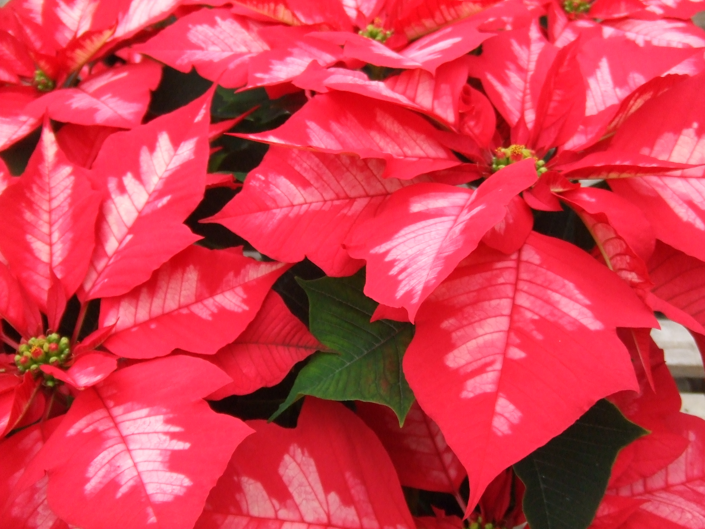 How To Keep Your Poinsettias Pretty Graf Growers