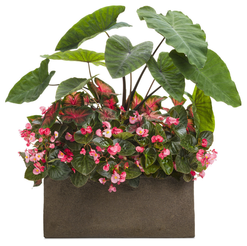 Colocasia with Begonias