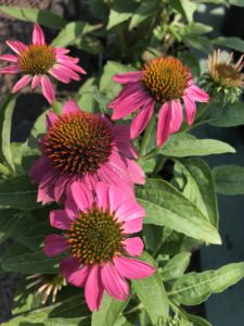 coneflower echinacea requests