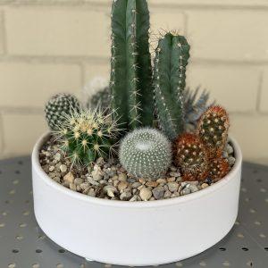cacti bowl succulent