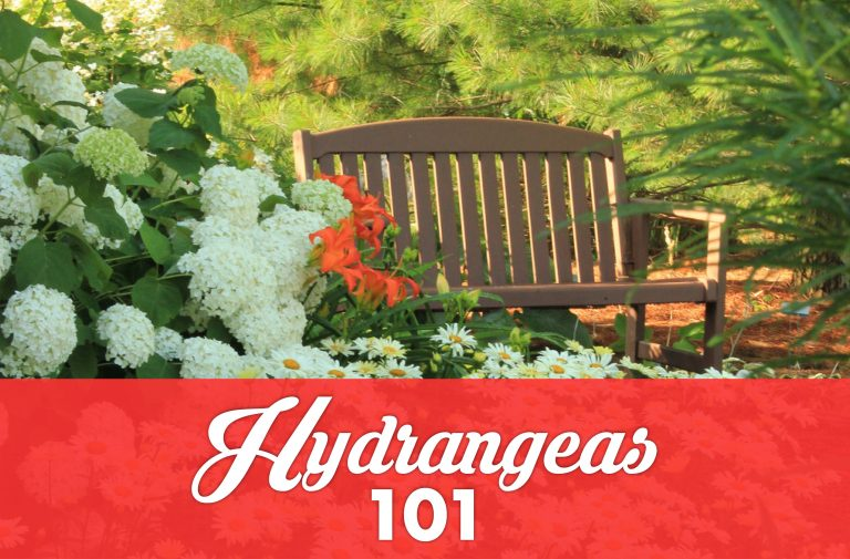 Hydrangeas 101