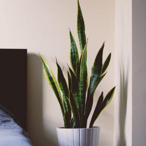 Graf's Medium Light Plant