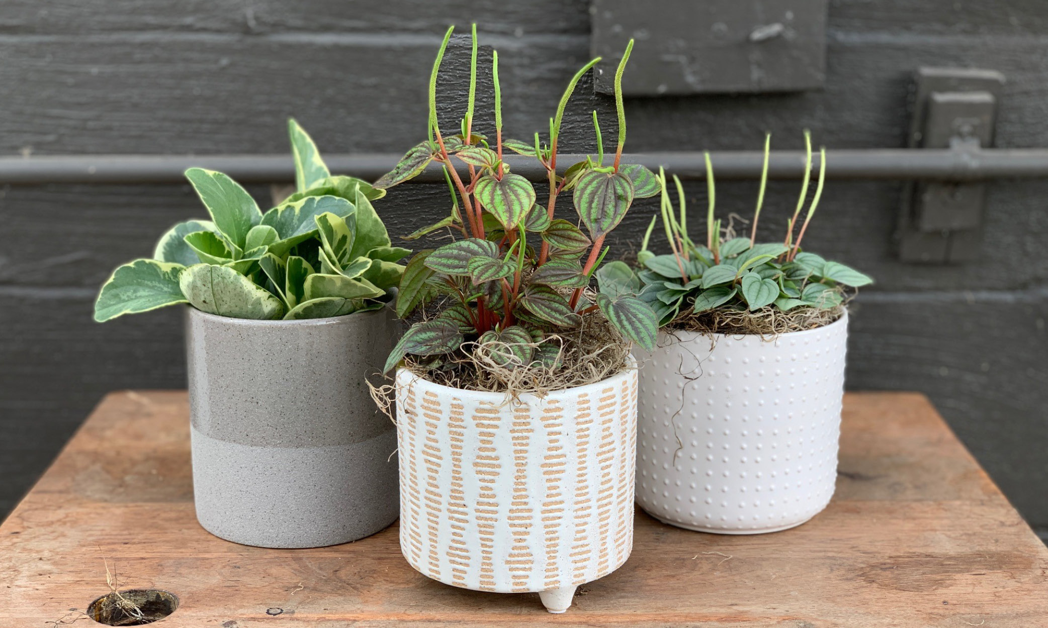 Peperomia Party Learn All About Graf S Favorite Pet Friendly Plant Graf Growers