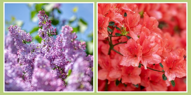 Lilacs and Azaleas