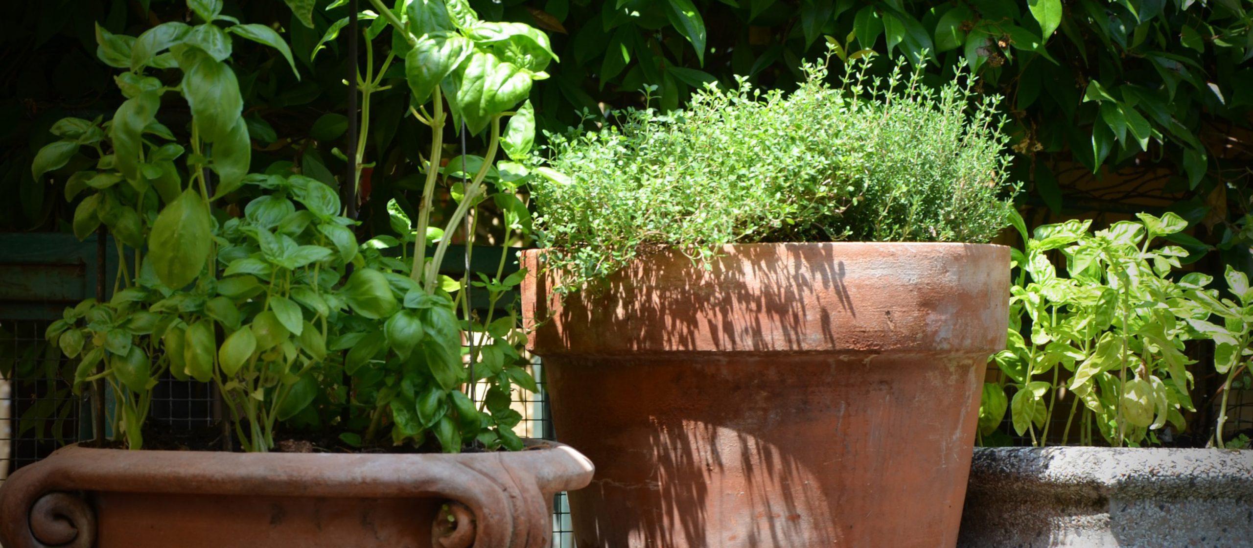 How to Grow Herbs Ohio