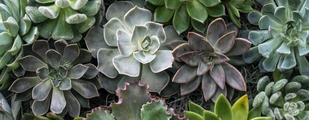 Succulent_5